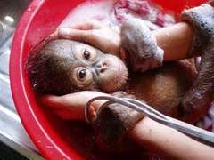 MALAYSIA: Orang-utan Care Project That You Will Never Forget!