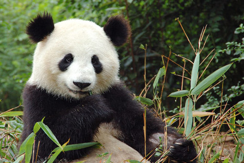 Volunteer with Pandas in China