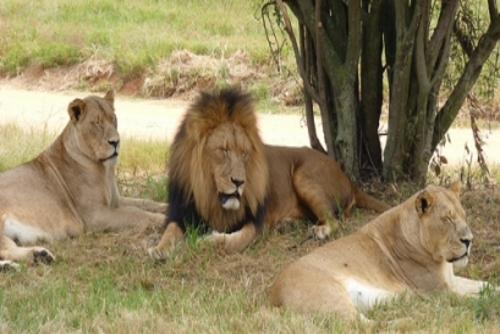 Volunteer with Lion Cubs