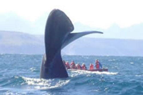 Volunteer with ORCA Whales and Sharks in South Africa