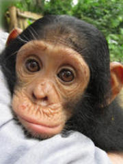 Volunteer with Chimpanzees