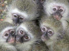 Volunteer with monkeys and baboons in South Africa