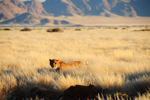 Volunteer with Cheetahs in Africa