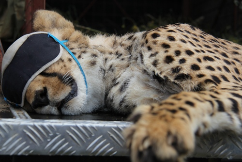 Volunteer with Cheetahs in Namibia