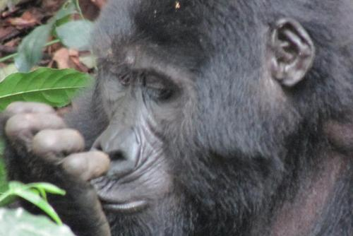 Volunteer with Gorillas