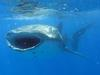 Best Places and Times of Year to Swim with Whale Sharks