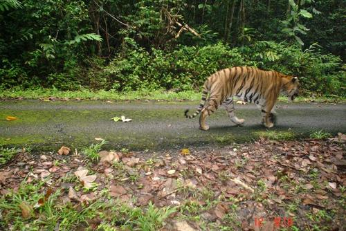 Tiger and Wildlife Conservation Project in Malaysia