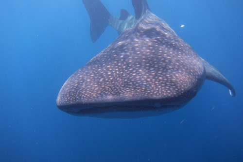 Scuba Diving + Whale Shark Expeditions in the Caribbean
