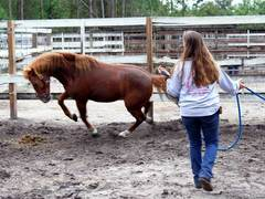 USA, Care for and Rehabilitate Abused Wild Mustangs in Florida