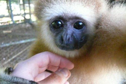 Gibbon Sanctuary Volunteering in Thailand