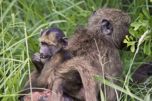 5 Reasons to Volunteer with Monkeys in Africa