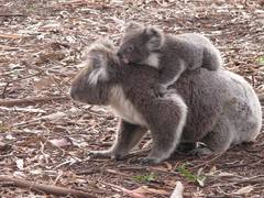 Volunteer with Koalas
