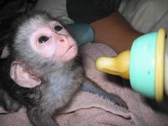 Baby Monkey Carer, South Africa