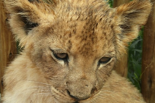 Volunteering with Lion Cubs in Africa – What I Wish I Had Known!