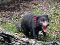 Best Place to Spot a Tasmanian Devil in Australia