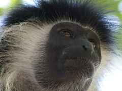 Primate Research Internship, Kenya