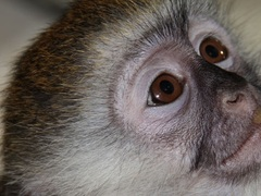 Monkey Conservation Program, Kenya