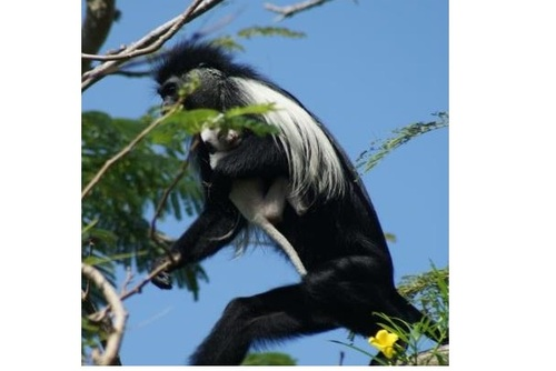 Guided Primate Eco-Tours, Diani, Kenya