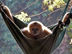 Gibbon Encounter, Mae Sot, Thailand
