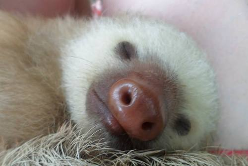 Volunteer Sloths Costa Rica