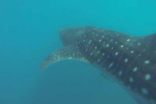 Tanzania Whale Sharks & Turtles