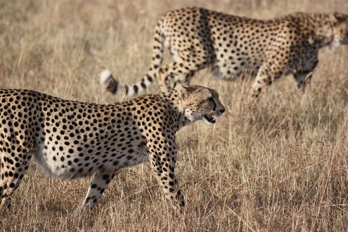 Big Cat Facts & Why You Should Help Them