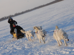 Dog Sled Volunteer in Canada