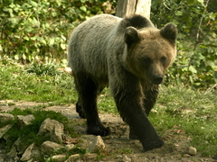 Bears of Romania