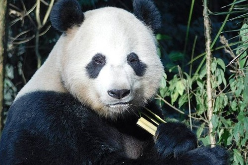 Panda Conservation in China