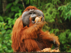 Samboja Lestari Orangutan Volunteer Project