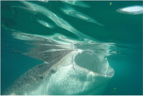 Whale Shark Conservation in Tanzania