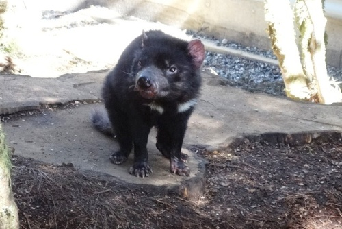 Tasmanian Devil Care & Release