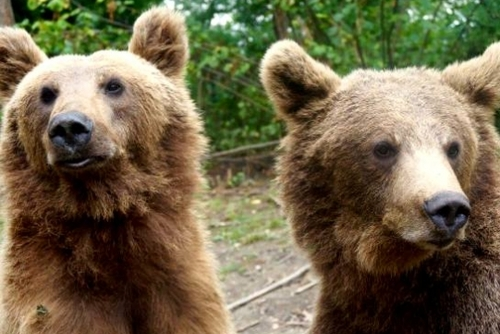 Bear Sanctuary Volunteering in Romania