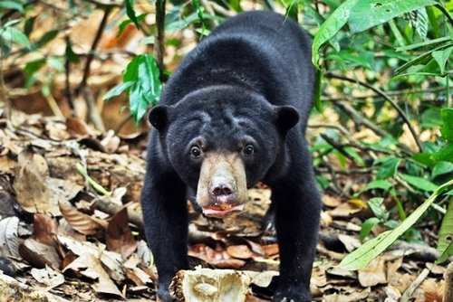 Volunteer with Sun Bears in Borneo