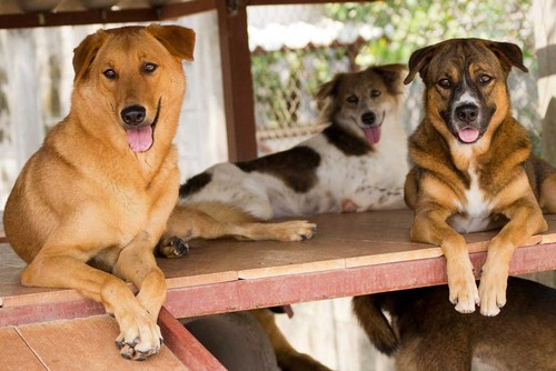 Veterinary Volunteer Job in Phuket, Thailand