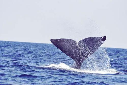 Tenerife Whale & Dolphin Conservation Placements from £150