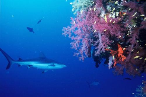 Fiji Shark Conservation Placements from £250