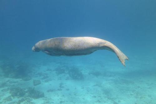 Belize Manatee Conservation Placements from only £250