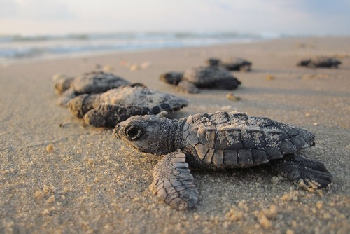 Volunteer in Guatemala with Turtle Conservation Program - from just $34 per day!