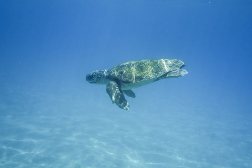Volunteer in Australia with Love Volunteers Great Barrier Turtle Conservation Program- from just $85 per day!