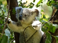 Volunteer in Australia with Love Volunteers Wildlife Rescue Program for $84 per day!