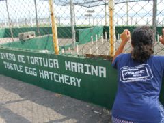Sea Turtles Conservation Projects in Costa Rica and Guatemala
