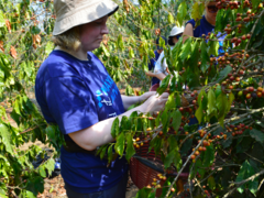 Coffee Farm Eco-Volunteer Projects in Costa Rica and Guatemala