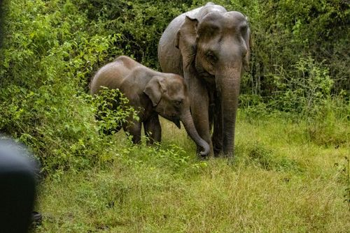 Asian Elephant Conservation In Sri Lanka