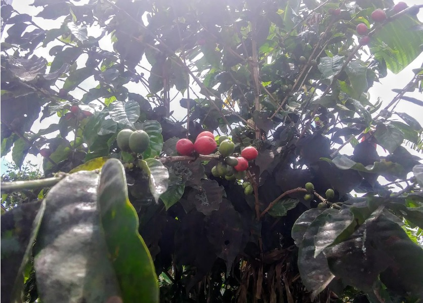 Best Coffee Hacienda Tours in Puerto Rico (After María)