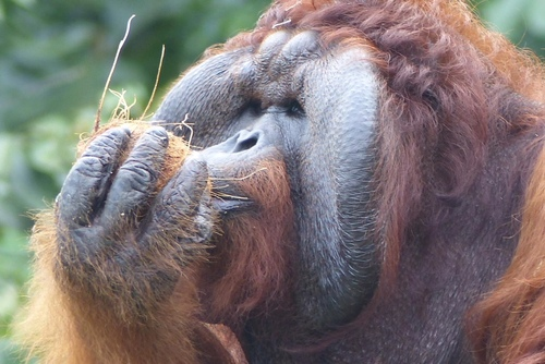 Volunteer with orangutans in Borneo