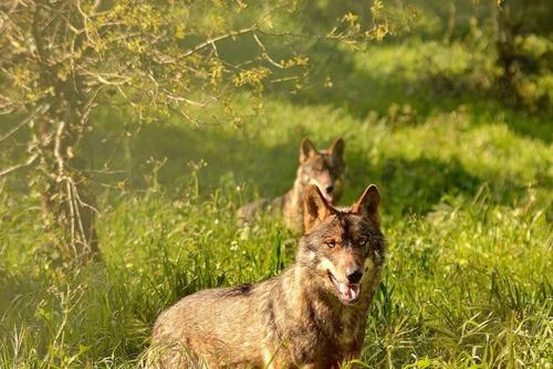 Volunteer with wolves in Portugal
