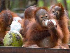 Orangutan Sanctuary Volunteer Experience