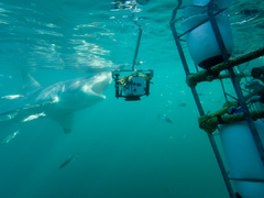 Great White Shark Research & Conservation Project