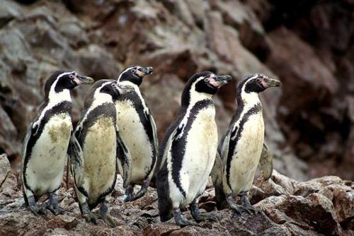 Peru Penguin Conservation